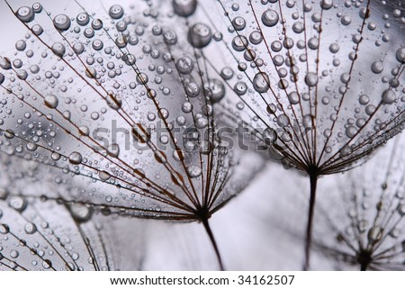 close-up of soft dandelion seeds to be used as background - stock photo