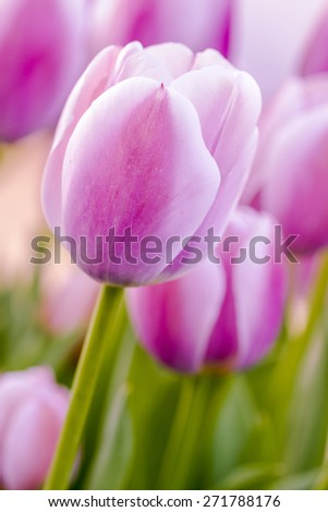 Close up of soft pink tulip stems in field on tulip bulb farm - stock photo