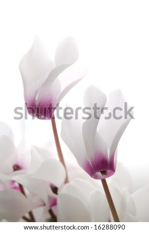 close-up of soft white and pin cyclamen persicum against white background