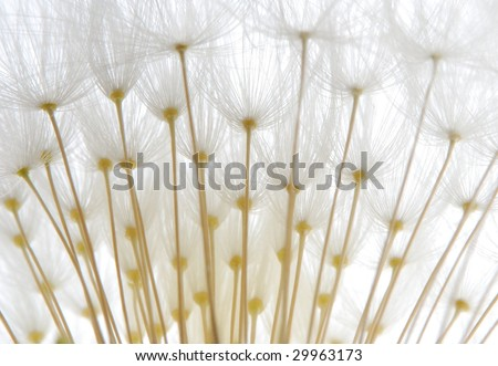 close-up of soft white dandelion seeds against white background - stock photo