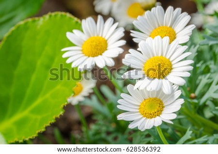 Close up of some Beautiful Daisies in a Flower Bed. Selective DOF
