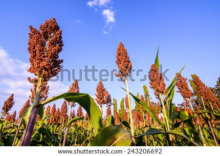 Close up of sorghum in the field.  - stock photo