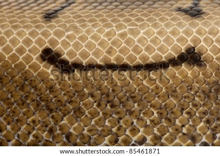 Close-up of Spinner Python, Royal python skin, ball python, Python regius, 2 years old - stock photo