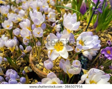 close up of spring crocus flowers - stock photo