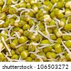 close up of sprouted seeds of green gram - stock photo