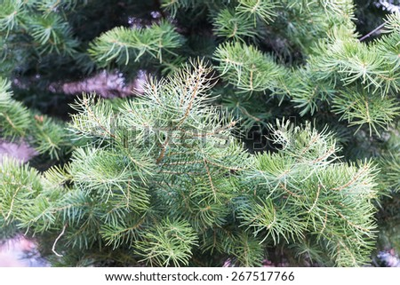 Close up of spruce branch. Beautiful coniferous shrub photographed in springtime. Nature close up useful as background - stock photo