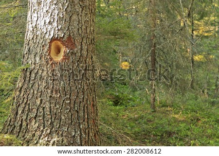 Close-up of spruce trees. Hole made of the woodpecker, Dryocopus martius.  - stock photo