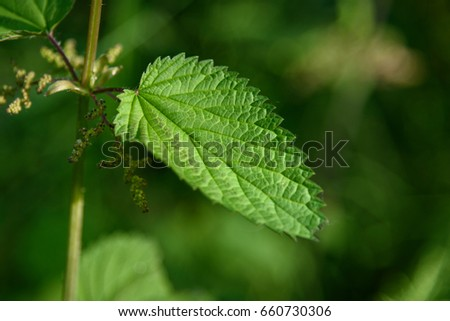 Close up of stinging nettle leaf in the sun