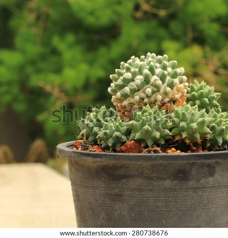 Close up of Strombocactus disciformis cactus in a pot. - stock photo