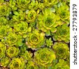 Close-up of succulent carpet background 03 - stock photo