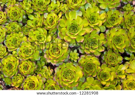 Close-up of succulent carpet background - stock photo