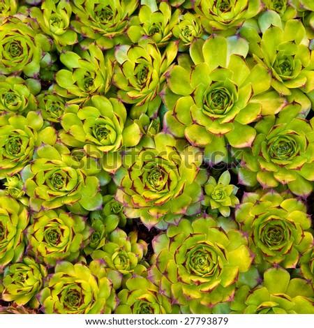 Close-up of succulent carpet background 03 - stock photo