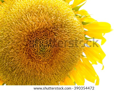 close up of sun flower