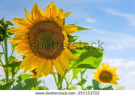 Close up of sun flower with blue sky and clouds