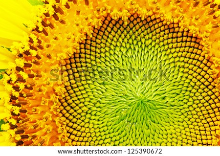 close-up of sunflower. - stock photo