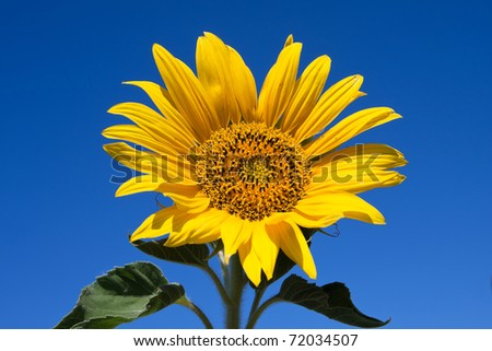 Close-up of sunflower against a blue sky background - stock photo