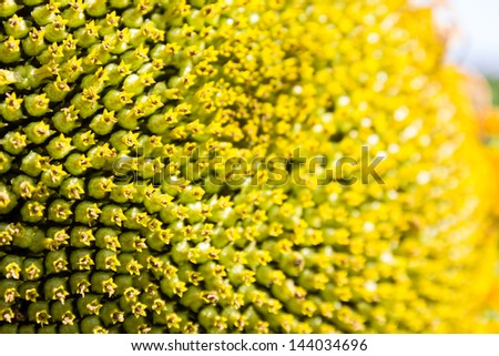 Close up of sunflower carpel - stock photo