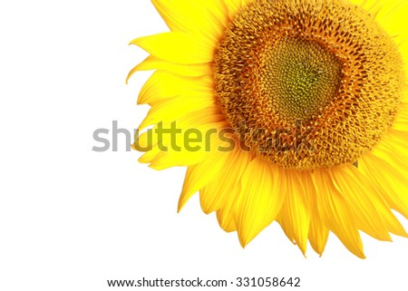 Close up of sunflower head isolated on white background - stock photo