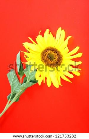 Close-up of sunflower, nature photo - stock photo