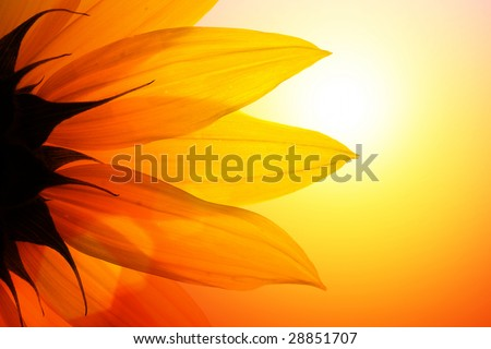 Close-up of sunflower over sunset sky - stock photo