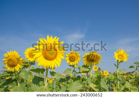Close-up of sunflowers against a blue sky on field - stock photo