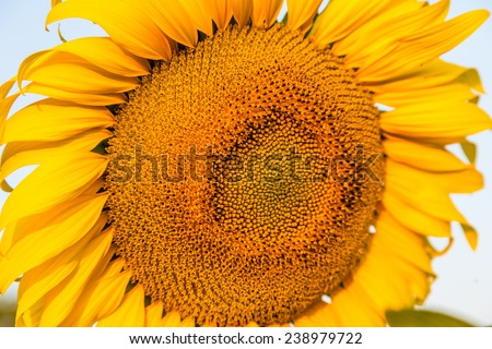 Close up of sunflowers in the field.