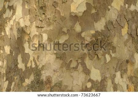 Close-up of Sycamore Tree - stock photo