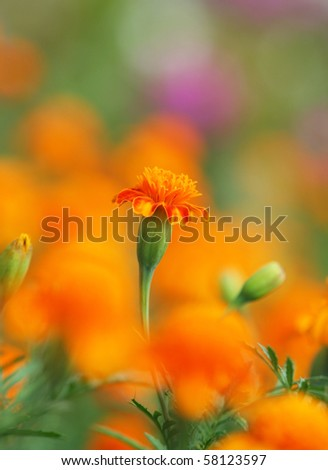 Close-up of  tagetes - stock photo