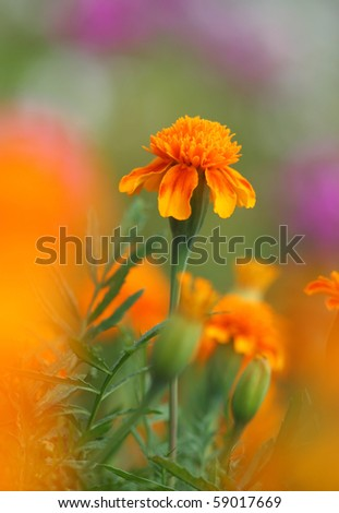 Close-up of tagetes flower - stock photo