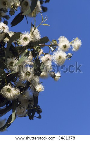 Close up of Tasmanian Blue Gum in flower(Eucalyptus globulus), floral emblem of Tasmania - stock photo