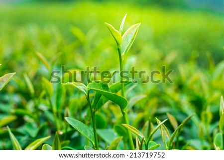 Close up of Tea leaves at a plantation in the beams of sunlight. - stock photo