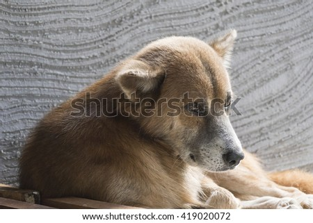 Close up of Thai native dog lying on the floor
