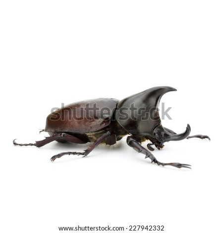 Close up of thai rhinoceros beetle wilderness isolated on a white background - stock photo
