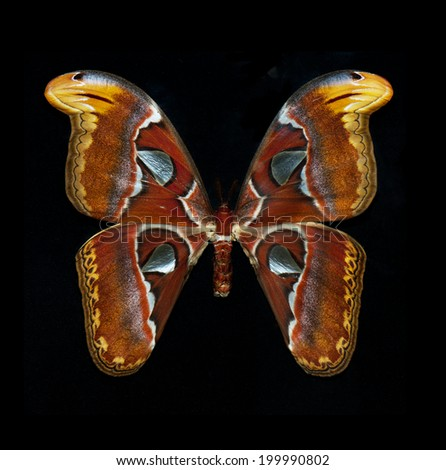 Close up of the attacus atlas butterfly isolated on black background - stock photo