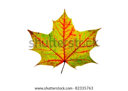 close-up of the autumn maple multicolored leaf isolated on white - stock photo