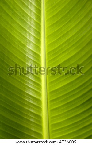 close up of the banana leaf - stock photo