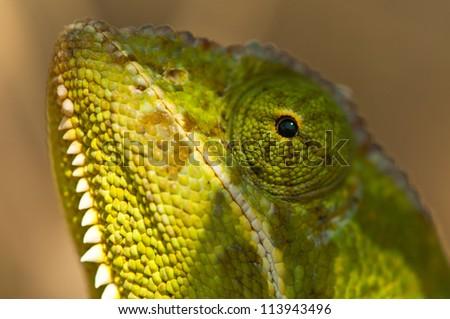 Close up of the beautiful Flap-Necked Chameleon.  Ruaha National Park, Tanzania. - stock photo