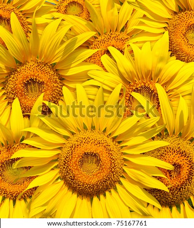 Close up of the beautiful sunflowers full frame.