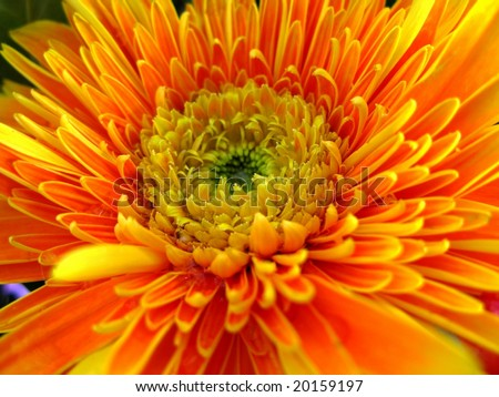 Close up of the beautiful yellow chrysanthemum