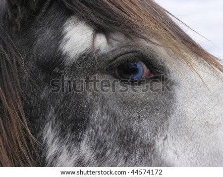 Close-up of the blue eye of Spanish Mustang - stock photo