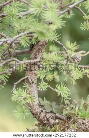 Close up of the bonsai larch - stock photo