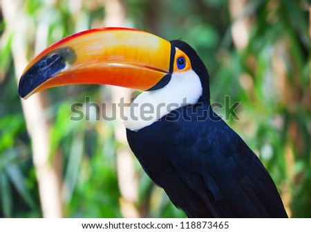 Close-up of the colorful giant toucan