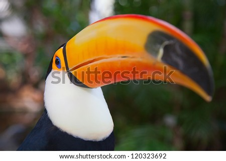 Close-up of the colorful giant toucan - stock photo