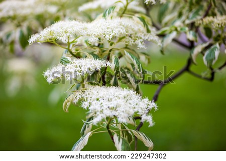 Close up of the dogwood blooming branches with white flowers. - stock photo
