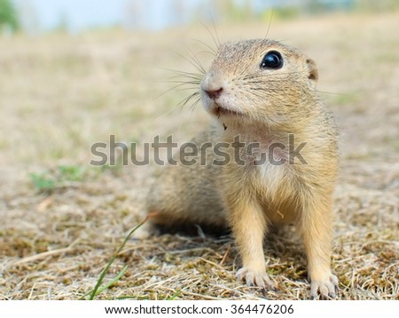 Close up of the European Ground Squirrel - stock photo