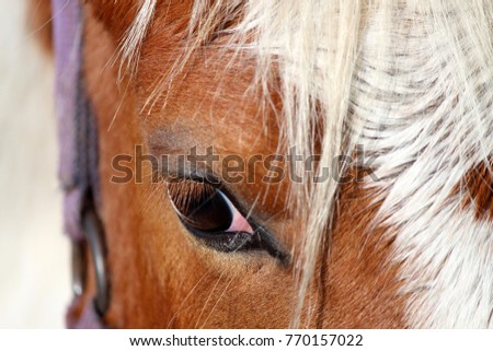 Close up of the eye of a chestnut and white tobiano paint horse wearing a purple halter.
