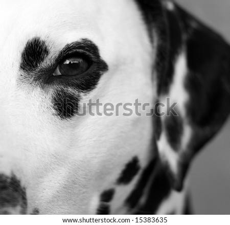 Close up of the eye of a dalmatian. - stock photo
