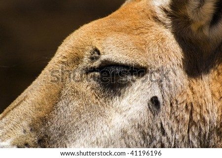 Close up of the eye of a red Kangaroo