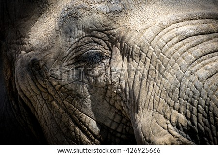Close-up of the eye of an African elephant (Loxodonta africana) - stock photo