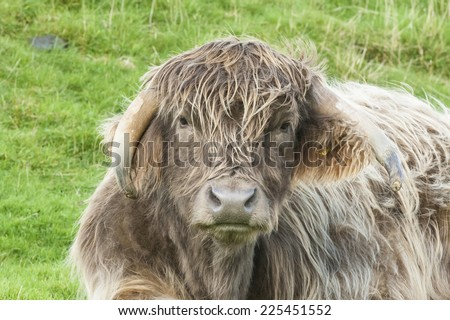Close up of the face of a cross bred highland cow - stock photo